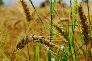wheat-agriculture-field-ears